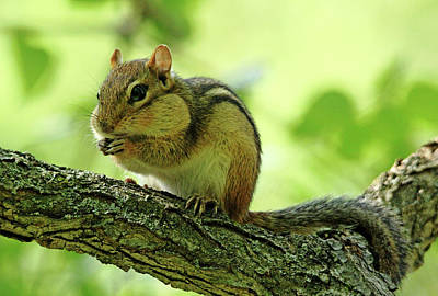 Photograph - Chipmunk Cheeks by Debbie Oppermann