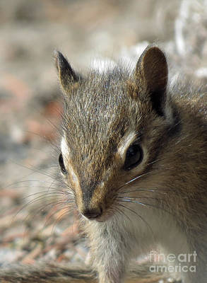 Photograph - Chipmunk Closeup by Chris Anderson