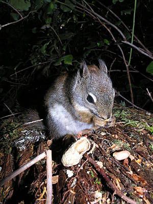 Photograph - Chipmunk Eating A Peanut by Nootka Sound