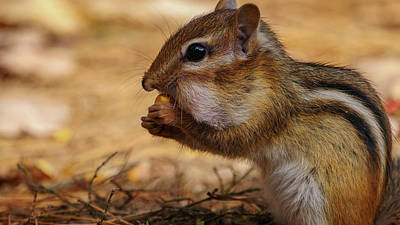 Photograph - Chipmunk Eating Corn by Bob Orsillo