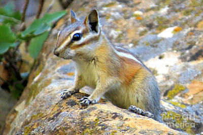 Photograph - Chipmunk by Frank Townsley