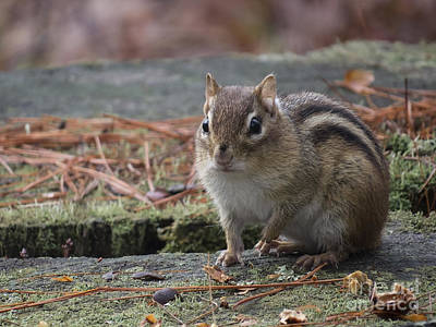 Photograph - Chipmunk IIi by Lili Feinstein
