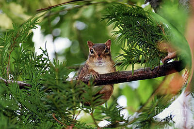 Photograph - Chipmunk In A Tree by Patti Whitten