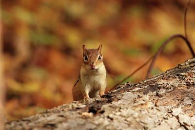 Photograph - Chipmunk In Autumn by Debbie Oppermann