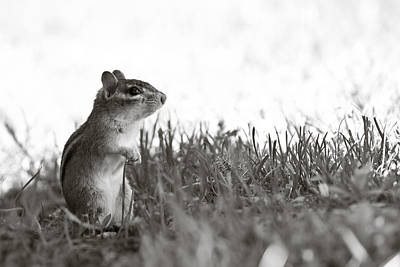Chipmunk In Black And White Art Print by Edward Myers