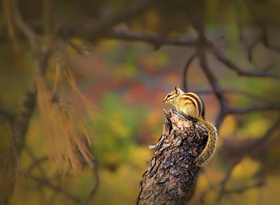 Photograph - Chipmunk In Fall Woods by Carolyn Derstine