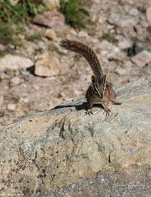 Photograph - Chipmunk In Glacier National Park by Mick Anderson