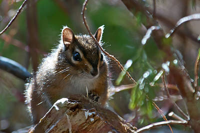Photograph - Chipmunk In The Sunlight by Cascade Colors