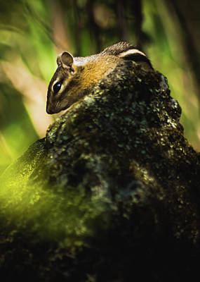 Photograph - Chipmunk In The Woods by Jeanette Fellows