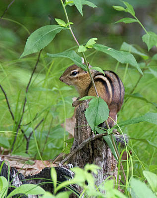 Photograph - Chipmunk by John Black