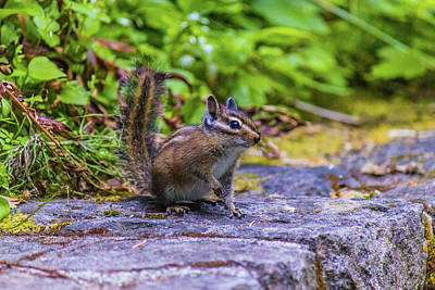 Photograph - Chipmunk by Jonny D
