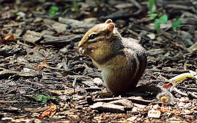 Photograph - Chipmunk by Joseph Skompski