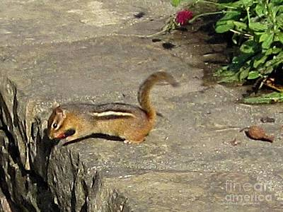 Photograph - Chipmunk by Kathie Chicoine