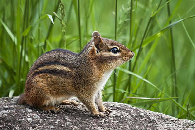Photograph - Chipmunk by Ken Barrett