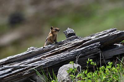 Photograph - Chipmunk by Ken Dietz