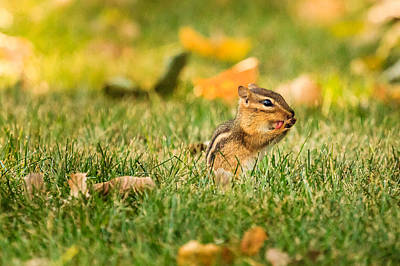 Photograph - Chipmunk Licking His Paws by Joni Eskridge