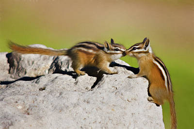 Small Rodents Photograph - Chipmunk Love by Lana Trussell