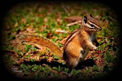 Photograph - Chipmunk by Lynn Bawden