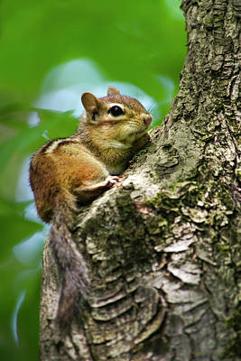 Photograph - Chipmunk On A Limb by Christina Rollo
