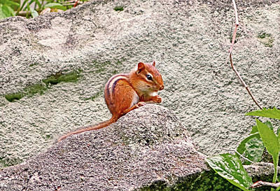 Photograph - Chipmunk On A Rock 001 by George Bostian