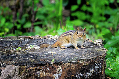 Photograph - Chipmunk On A Stump by Joni Eskridge