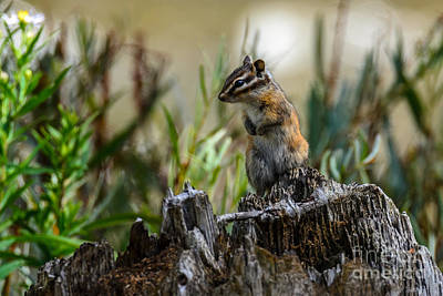 Photograph - Chipmunk On Its Favorite Stump by Debra Martz