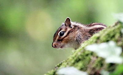Photograph - Chipmunk On The Tree by Elenarts - Elena Duvernay photo