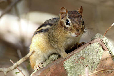 Photograph - Chipmunk Smithtown New York by Bob Savage
