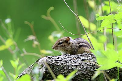 Photograph - Chipmunk Stony Brook New York by Bob Savage
