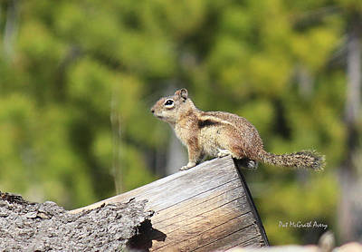 Photograph - Chipmunk Sunning by Pat McGrath Avery