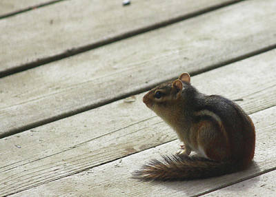 Photograph - Chipmunk by Tiffany Erdman