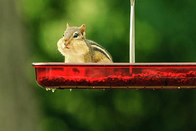 Photograph - Chipmunk With Stuffed Cheeks by Joni Eskridge