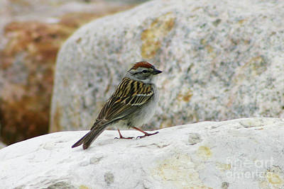 Photograph - Chipping Sparrow by Alyce Taylor