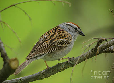 Photograph - Chipping Sparrow Cutie by Cheryl Baxter