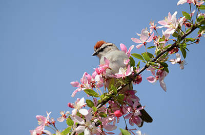 Photograph - Chipping Sparrow In Spring by Ann Bridges