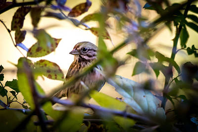 Birds Photograph - Chipping Sparrow In The Brush by Bob Orsillo