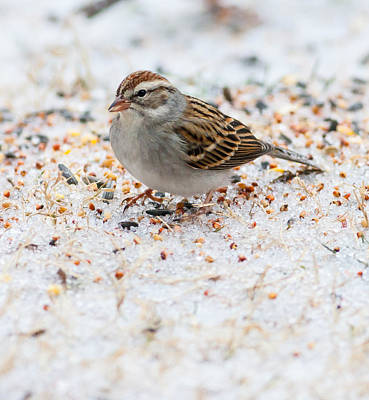 Photograph - Chipping Sparrow by Melinda Fawver