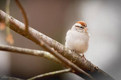 Photograph - Chipping Sparrow by Phil Rispin