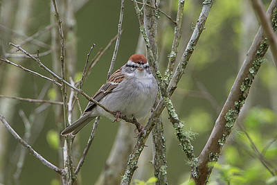 Just Desserts - Chipping Sparrow by Ronnie Maum