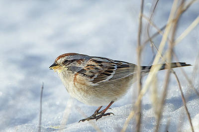 Photograph - Chipping Sparrow by Susan McMenamin