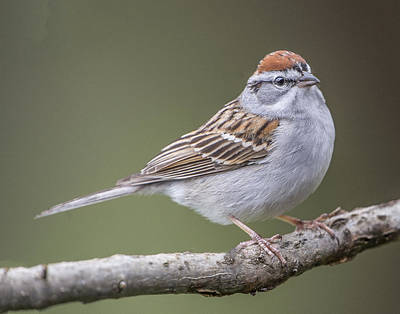 Photograph - Chipping Sparrow by William Bitman