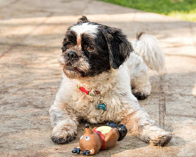 Photograph - Sambucca And His Toy by Kristia Adams