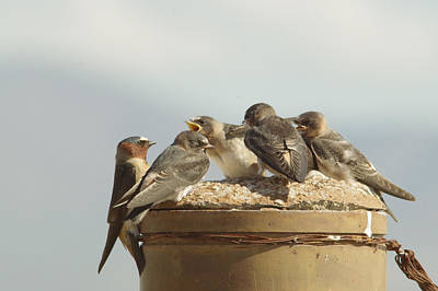 Swallow Photograph - Chirping Swallows by Jeff Swan