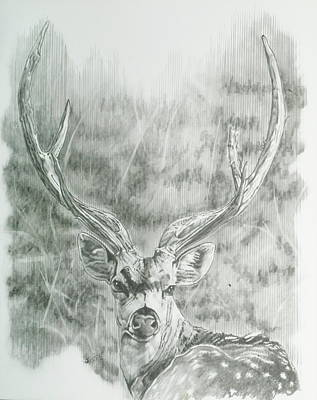 Drawing - Chital Deer by Barbara Keith