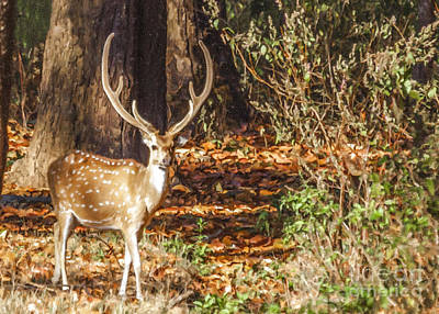 Digital Art - Chital Stag In Velvet Walking In Kanha National Park India by Liz Leyden
