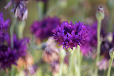 Photograph - Chive Blossoms by Bonnie Bruno