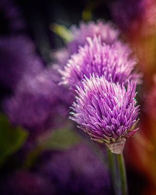 Photograph - Chive Blossoms by Chris Bordeleau