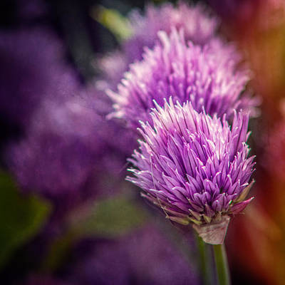 Photograph - Chive Blossoms - Square by Chris Bordeleau
