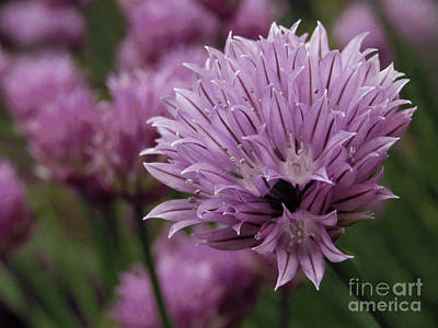 Photograph - Chive Flowers 3 by Kim Tran