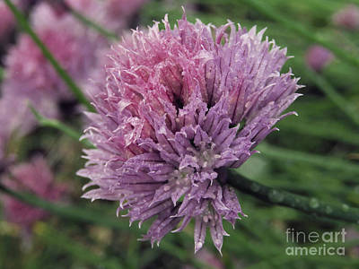 Photograph - Chive Flowers After The Rain by Kim Tran